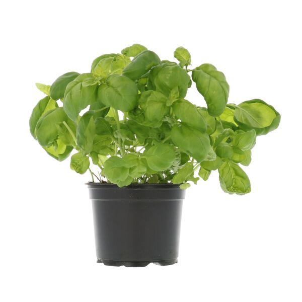 Basilicum in pot